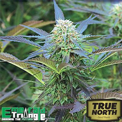 Emerald Triangle Seeds Royal Purple Kush Feminized