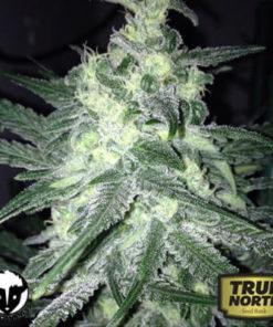 Moonshine Ghost Train Feminized Seeds