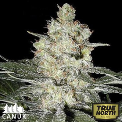 Original Skunk #1 Feminized Seeds