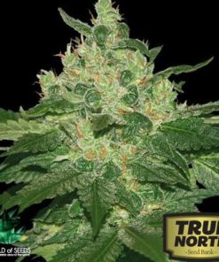 Afghan Kush Feminized Seeds