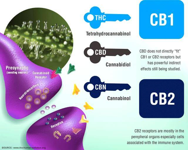 The Endocannabinoid System Receptors